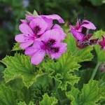 Huile essentielle de Geranium rosat : l'anti-rides par excellence