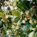 Huile essentielle saro : la remplaçante du ravintsara