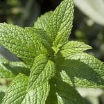 Huile essentielle de menthe poivrée : indispensable en cas de nausée