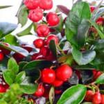 Huile essentielle de gaulthérie odorante : anti-inflammatoire par excellence